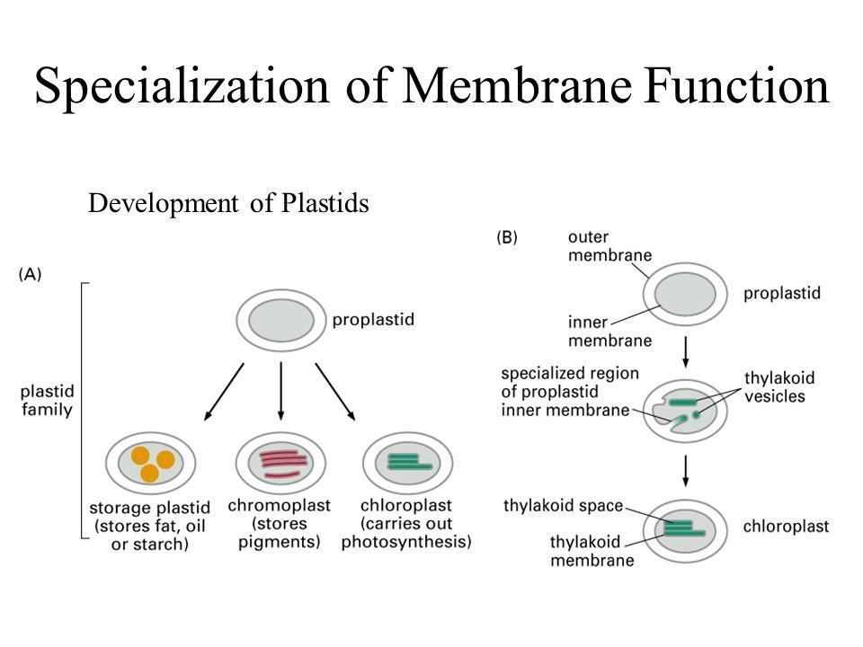 Specialization of Membrane Function Development of Plastids