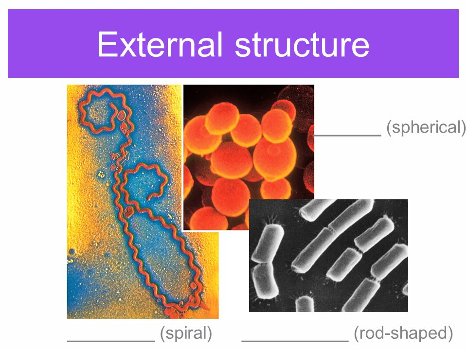 External structure _______ (spherical) _________ (spiral)___________ (rod-shaped)