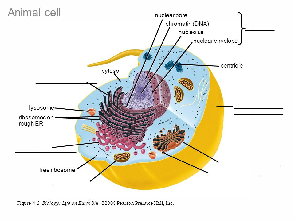Figure 4-3 Biology: Life on Earth 8/e ©2008 Pearson Prentice Hall, Inc.