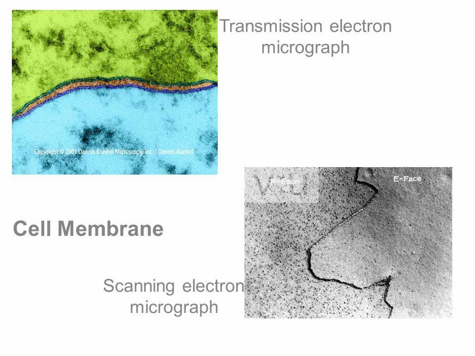 Cell Membrane Transmission electron micrograph Scanning electron micrograph