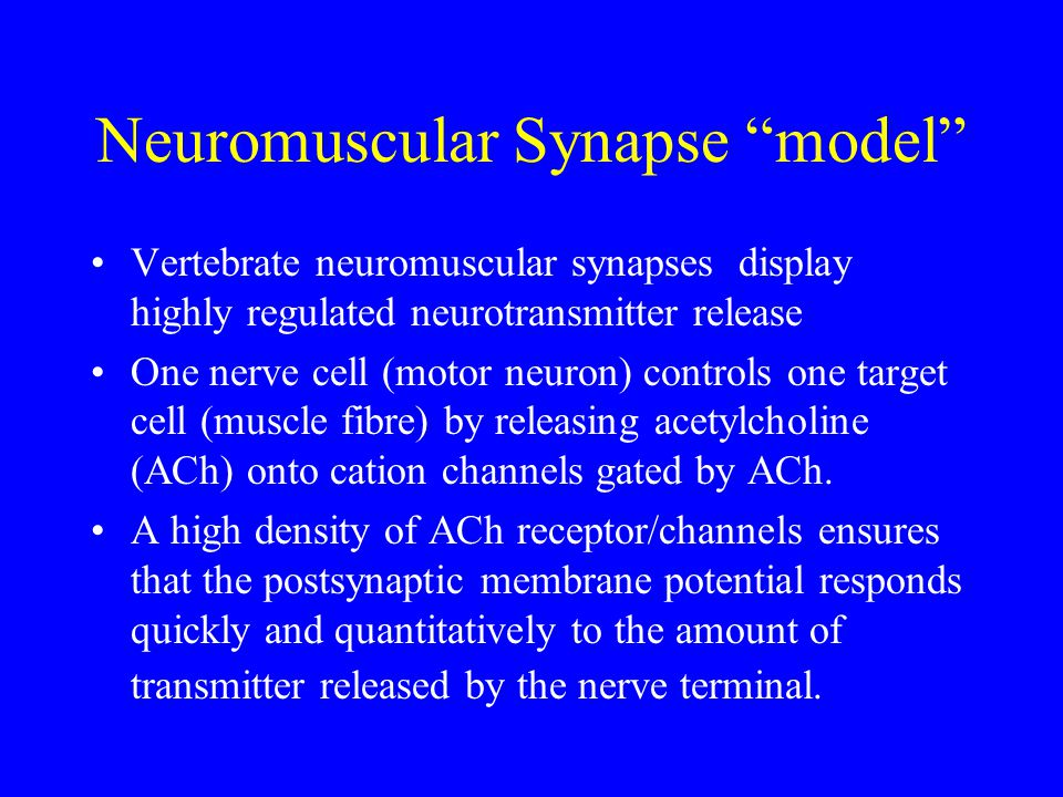 Neuromuscular Synapse model Vertebrate neuromuscular synapses display highly regulated neurotransmitter release One nerve cell (motor neuron) controls one target cell (muscle fibre) by releasing acetylcholine (ACh) onto cation channels gated by ACh.