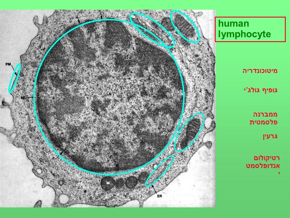 human lymphocyte מיטוכונדריה גופיף גולג'י ממברנה פלסמטית גרעין רטיקולום אנדופלסמט י