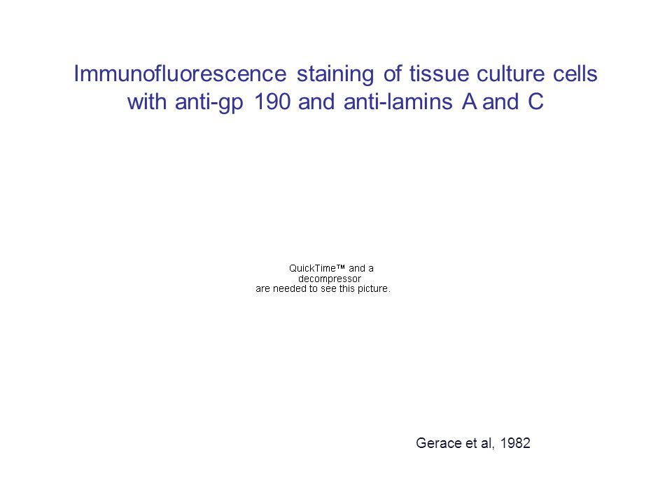 Immunofluorescence staining of tissue culture cells with anti-gp 190 and anti-lamins A and C Gerace et al, 1982