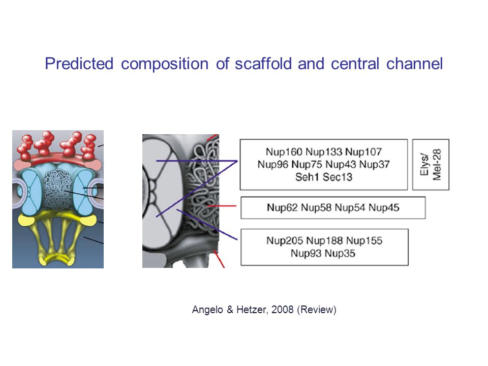 Predicted composition of scaffold and central channel Angelo & Hetzer, 2008 (Review)
