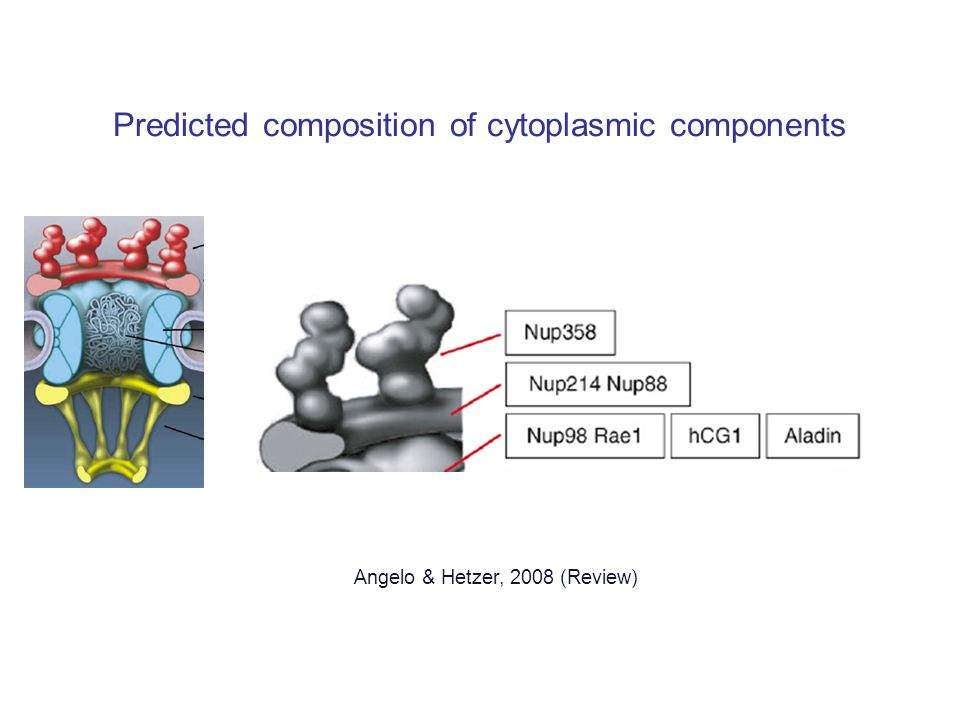 Predicted composition of cytoplasmic components Angelo & Hetzer, 2008 (Review)