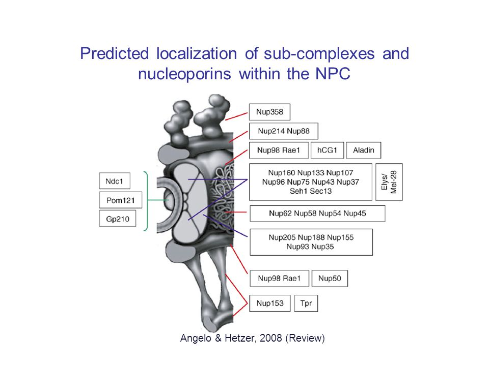Predicted localization of sub-complexes and nucleoporins within the NPC Angelo & Hetzer, 2008 (Review)