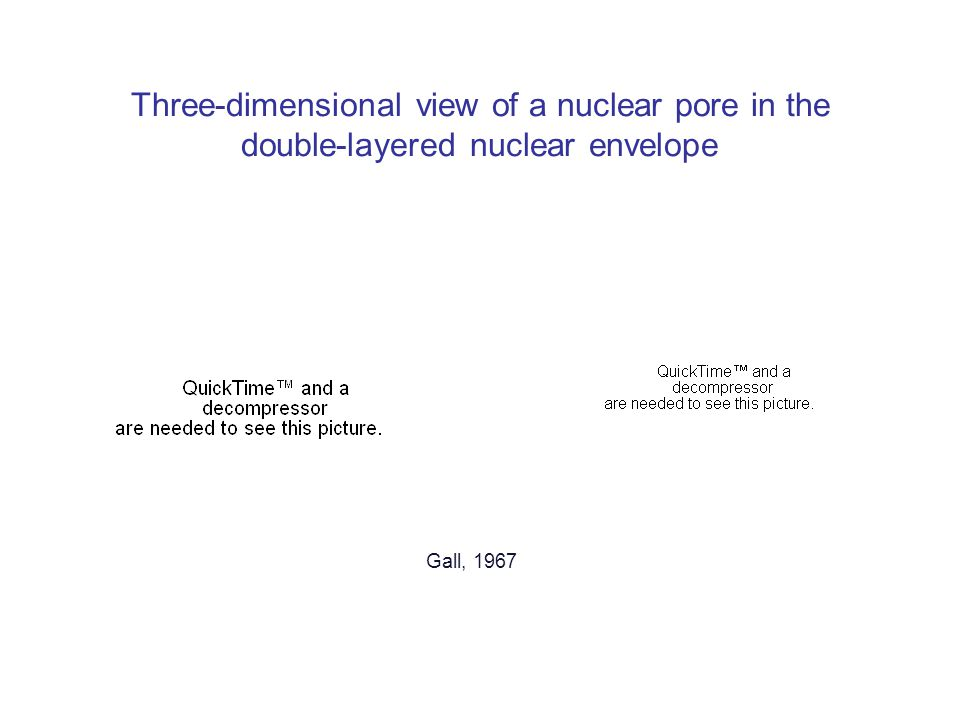 Three-dimensional view of a nuclear pore in the double-layered nuclear envelope Gall, 1967