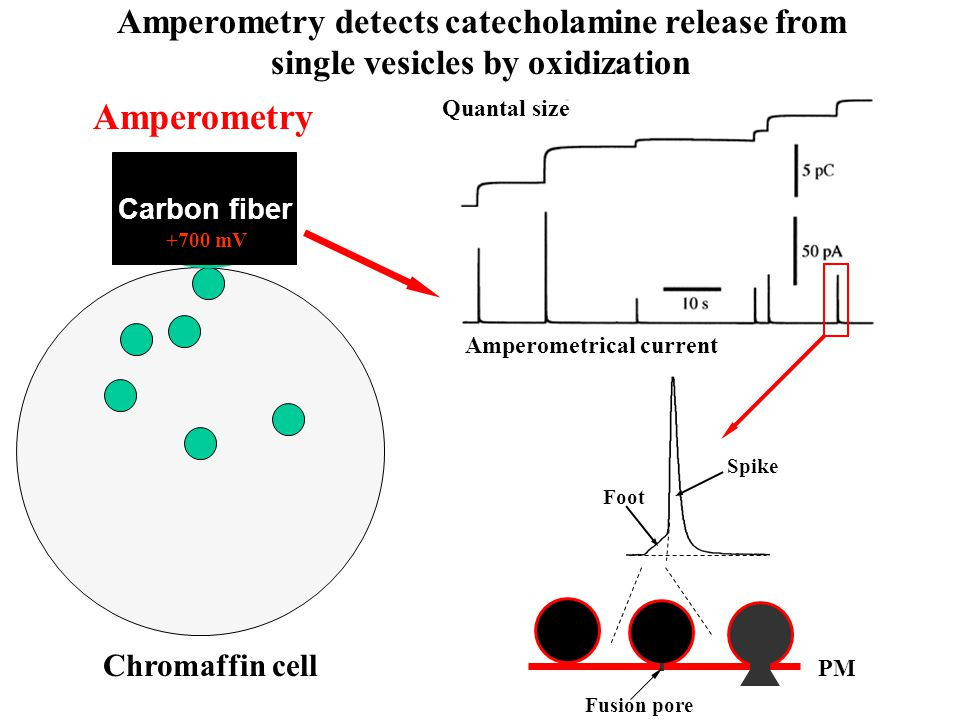 Carbon fiber +700 mV Amperometry detects catecholamine release from single vesicles by oxidization Amperometrical current Quantal size Amperometry Chromaffin cell Fusion pore PM Foot Spike