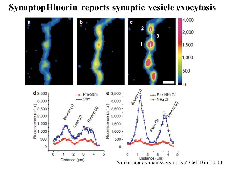 SynaptopHluorin reports synaptic vesicle exocytosis Sankaranarayanan & Ryan, Nat Cell Biol 2000