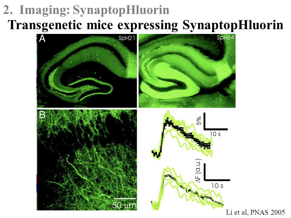 2. Imaging: SynaptopHluorin Transgenetic mice expressing SynaptopHluorin Li et al, PNAS 2005