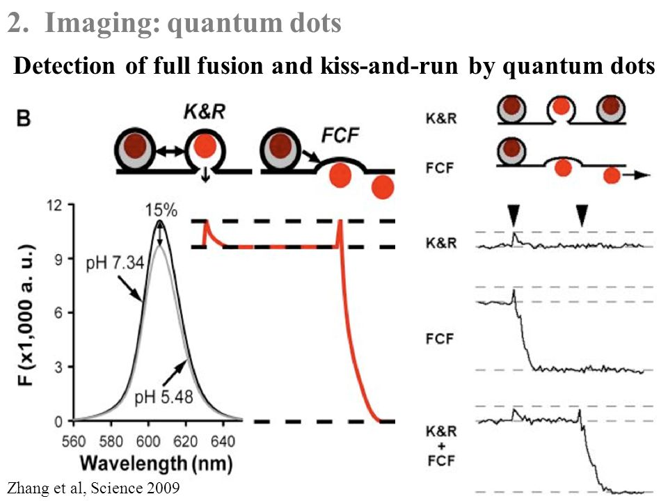 Detection of full fusion and kiss-and-run by quantum dots Zhang et al, Science 2009 2.