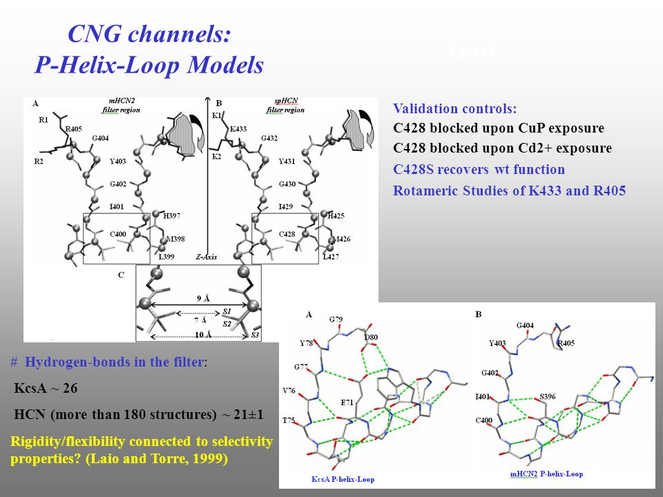 Lys433 Validation controls: C428 blocked upon CuP exposure C428 blocked upon Cd2+ exposure C428S recovers wt function Rotameric Studies of K433 and R405 CNG channels: P-Helix-Loop Models # Hydrogen-bonds in the filter: KcsA ~ 26 HCN (more than 180 structures) ~ 21±1 Rigidity/flexibility connected to selectivity properties.