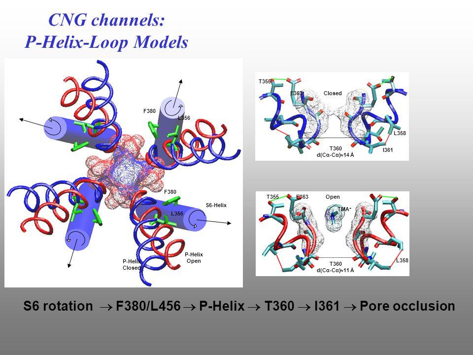 CNG channels: P-Helix-Loop Models E363T355 L358 T360 d(Cα-Cα)≈11 Å Open TMA + E71 E363 T355 L358 Closed T360 d(Cα-Cα)≈14 Å Upper View F380 L356 S6-Helix P-Helix Open P-Helix Closed L356 F380 I361 S6 rotation  F380/L456  P-Helix  T360  I361  Pore occlusion