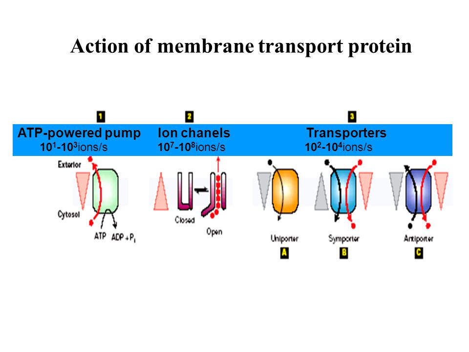 Action of membrane transport protein ATP-powered pump Ion chanels Transporters 10 1 -10 3 ions/s 10 7 -10 8 ions/s 10 2 -10 4 ions/s