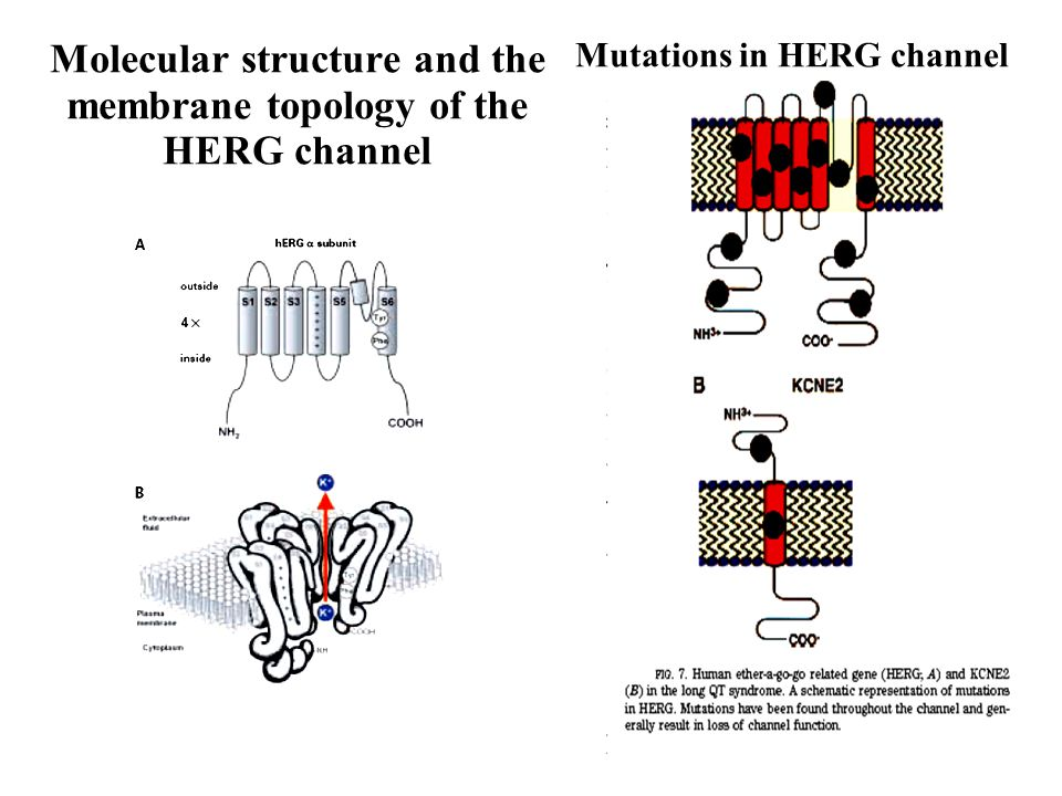 Molecular structure and the membrane topology of the HERG channel Mutations in HERG channel