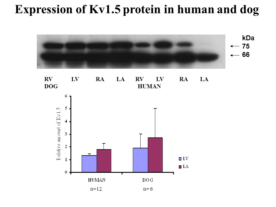 RV LV RA LA DOG HUMAN n=12n= 6 kDa 75 66 Expression of Kv1.5 protein in human and dog