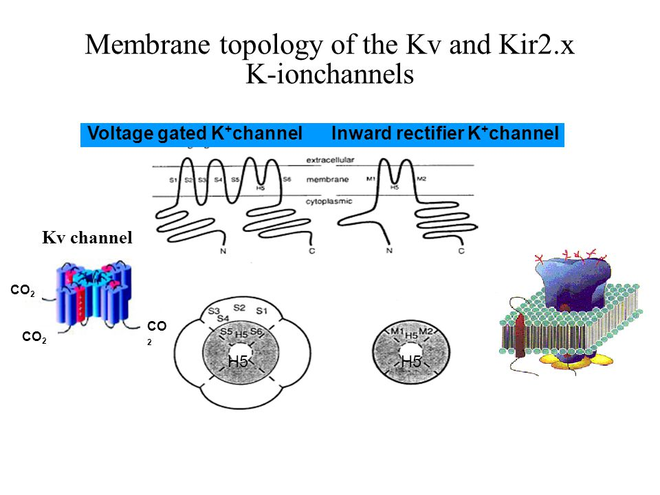Membrane topology of the Kv and Kir2.x K-ionchannels H5 Voltage gated K + channel Inward rectifier K + channel Kv channel CO 2