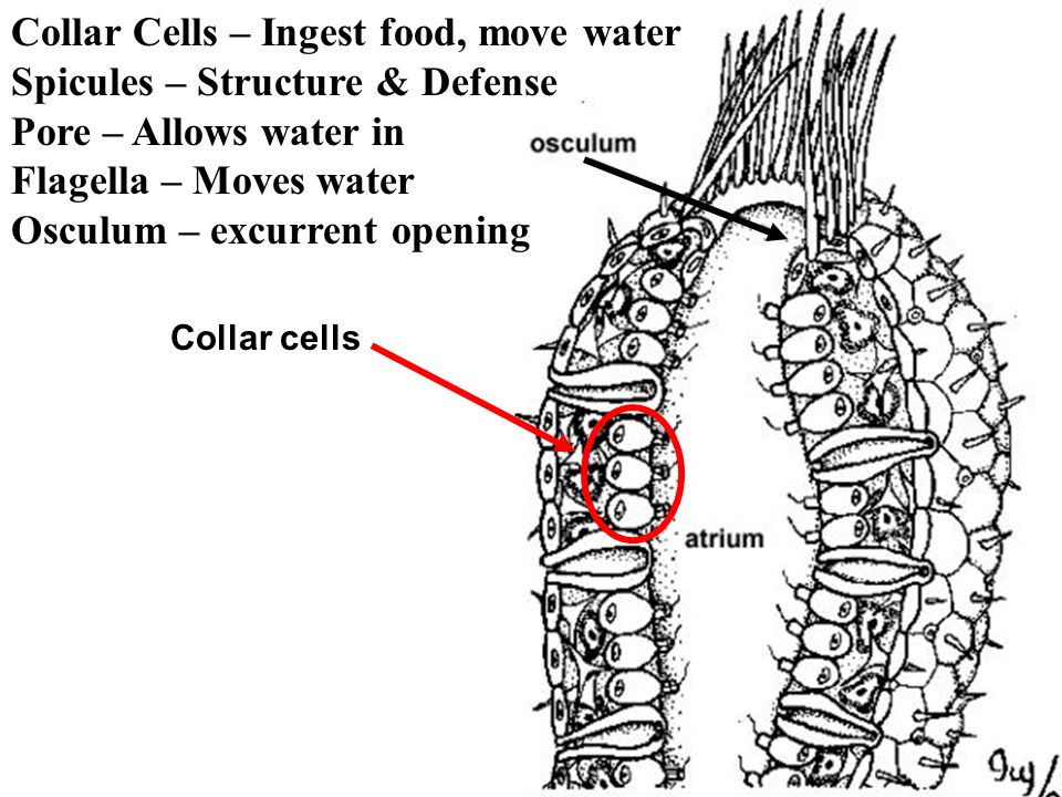 Collar Cells – Ingest food, move water Spicules – Structure & Defense Pore – Allows water in Flagella – Moves water Osculum – excurrent opening Collar cells