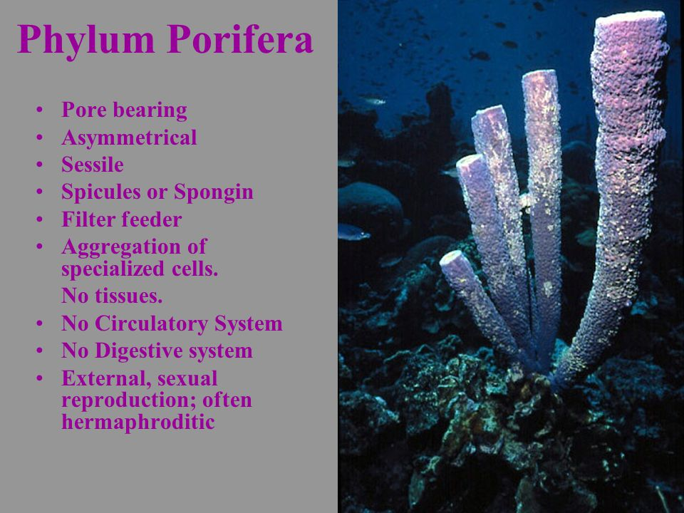 Phylum Porifera Pore bearing Asymmetrical Sessile Spicules or Spongin Filter feeder Aggregation of specialized cells.