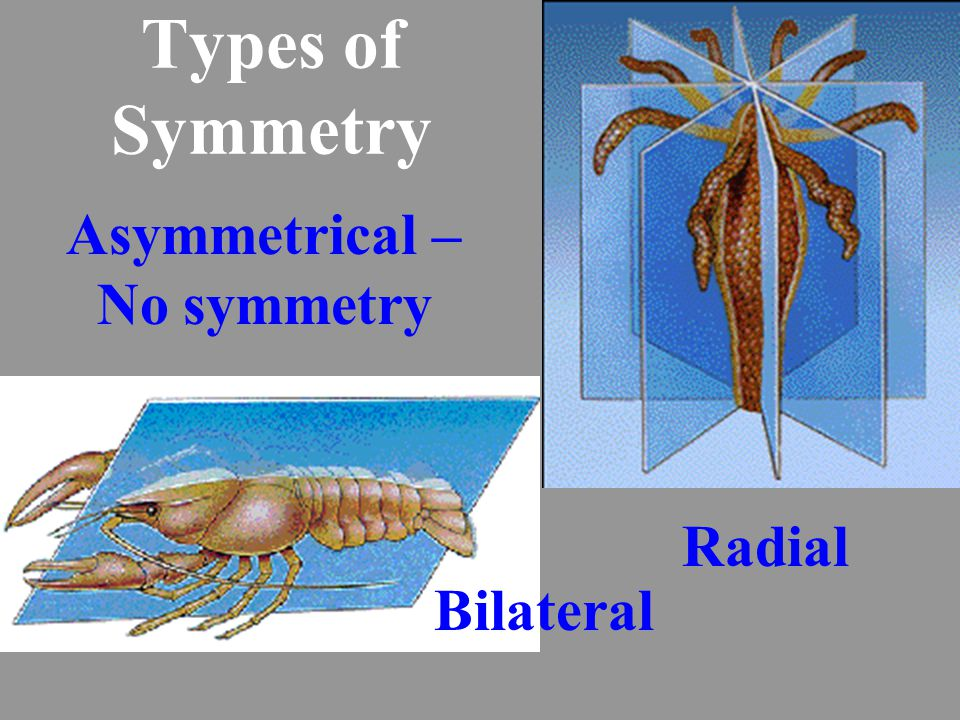 Types of Symmetry Radial Bilateral Asymmetrical – No symmetry