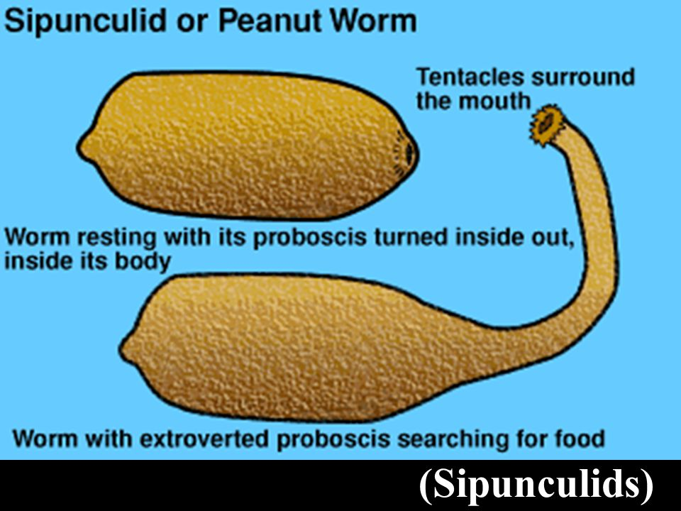 Other Worms Peanut Worms (Sipunculids)
