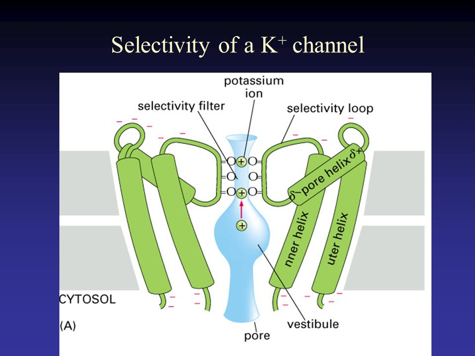 Selectivity of a K + channel