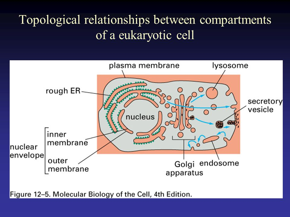 Topological relationships between compartments of a eukaryotic cell