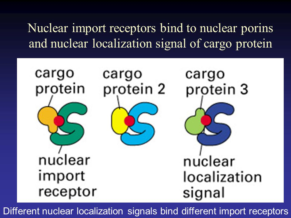 Nuclear import receptors bind to nuclear porins and nuclear localization signal of cargo protein Different nuclear localization signals bind different import receptors
