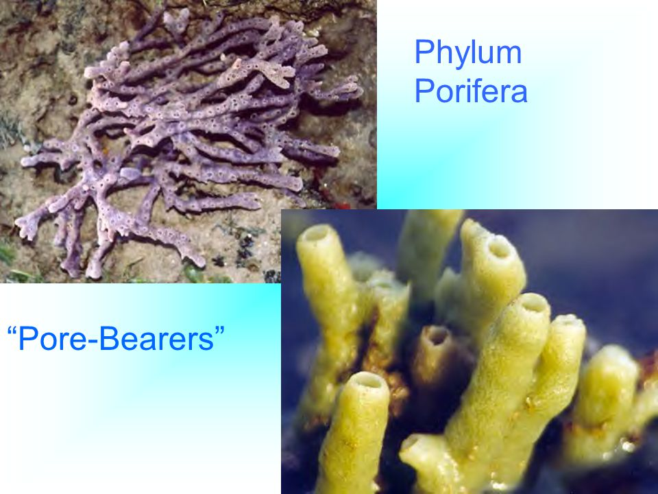 The Polyp and Medusa Stages 1.Polyp - Stationary, Examples: Hydra, Coral, and Sea Anemone 2.