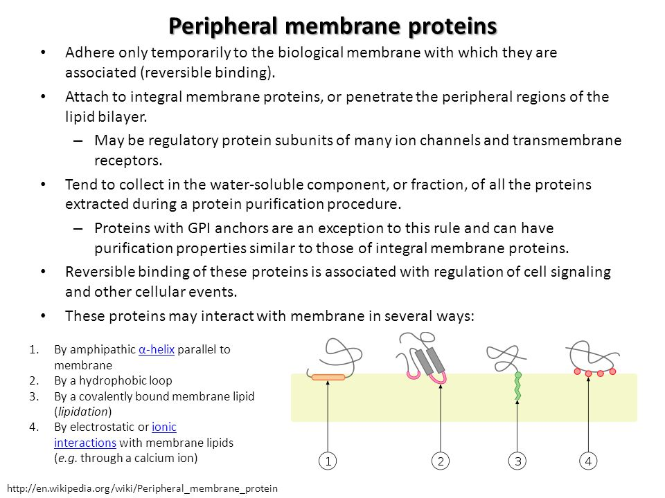 Peripheral membrane proteins Adhere only temporarily to the biological membrane with which they are associated (reversible binding). Attach to integra