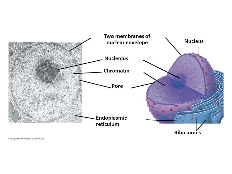 Two membranes of nuclear envelope Nucleus Nucleolus Chromatin Pore Endoplasmic reticulum Ribosomes