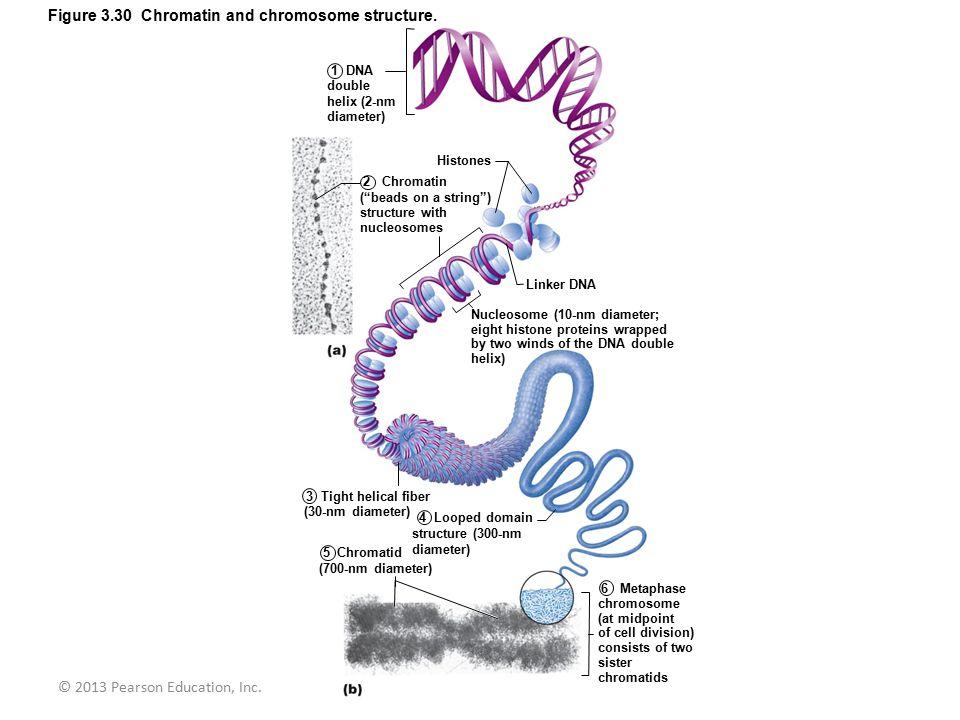 © 2013 Pearson Education, Inc.Figure 3.30 Chromatin and chromosome structure.