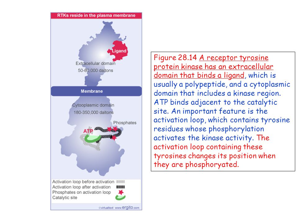 Figure 28.14 A receptor tyrosine protein kinase has an extracellular domain that binds a ligand, which is usually a polypeptide, and a cytoplasmic domain that includes a kinase region.