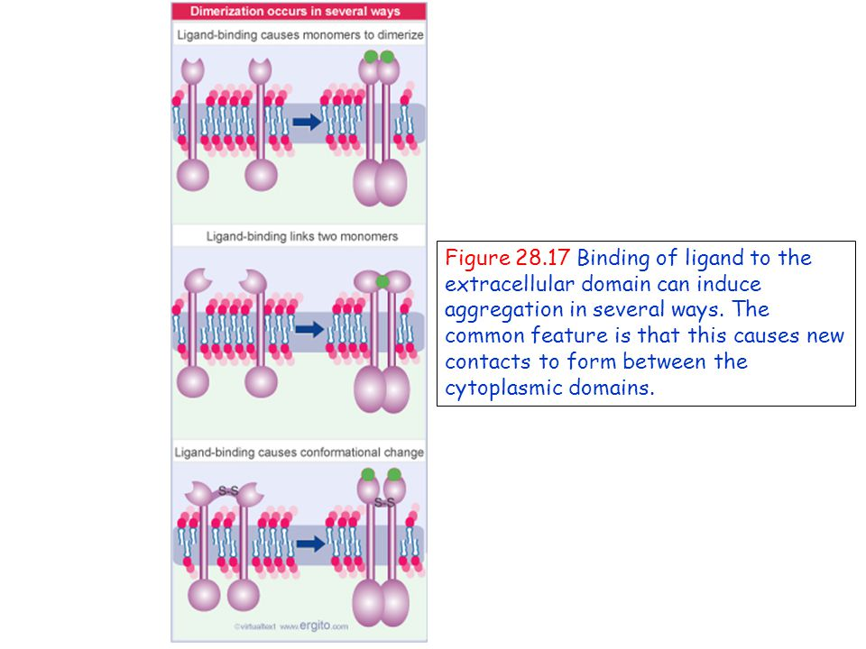 Figure 28.17 Binding of ligand to the extracellular domain can induce aggregation in several ways.