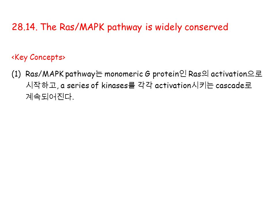 28.14. The Ras/MAPK pathway is widely conserved (1)Ras/MAPK pathway 는 monomeric G protein 인 Ras 의 activation 으로 시작하고, a series of kinases 를 각각 activat
