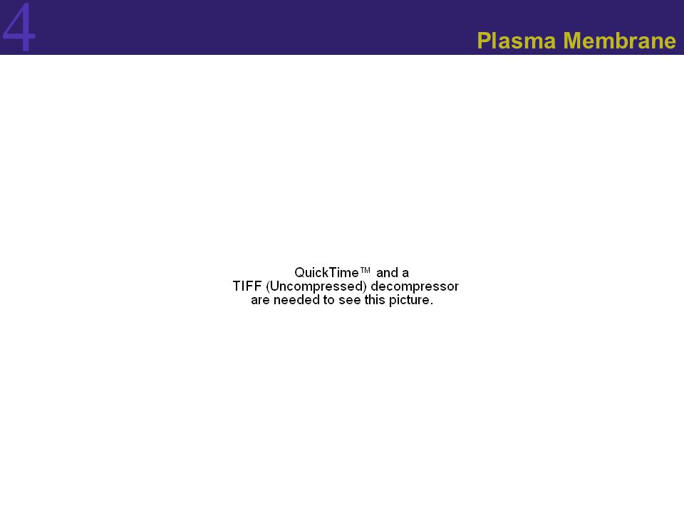 4 Plasma Membrane