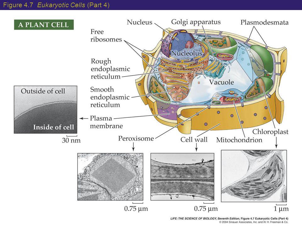 Figure 4.7 Eukaryotic Cells (Part 4)