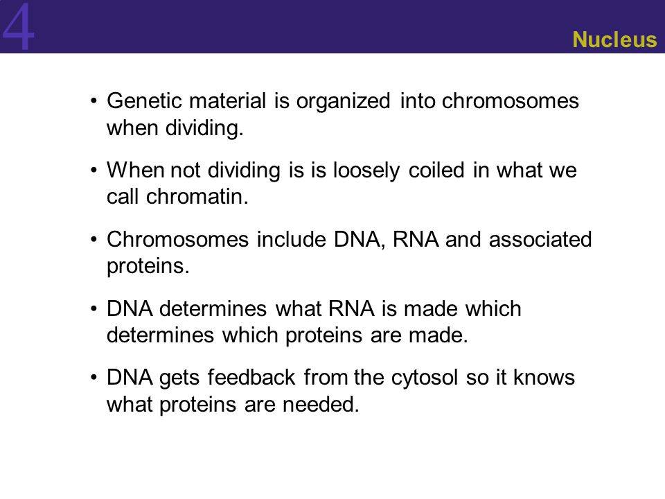 4 Nucleus Genetic material is organized into chromosomes when dividing. When not dividing is is loosely coiled in what we call chromatin. Chromosomes