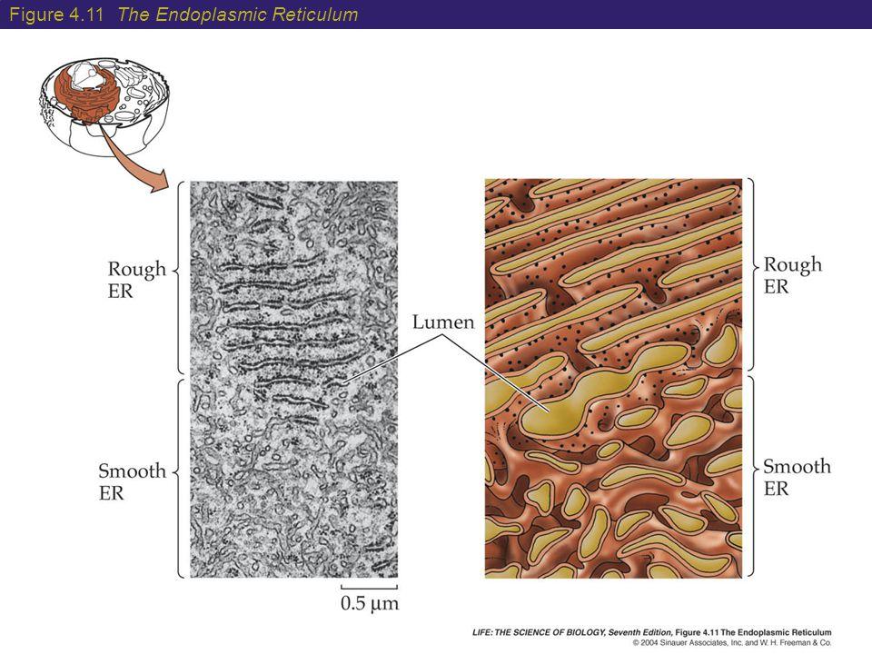 Figure 4.11 The Endoplasmic Reticulum