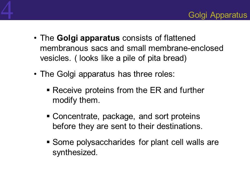 4 Golgi Apparatus The Golgi apparatus consists of flattened membranous sacs and small membrane-enclosed vesicles. ( looks like a pile of pita bread) T