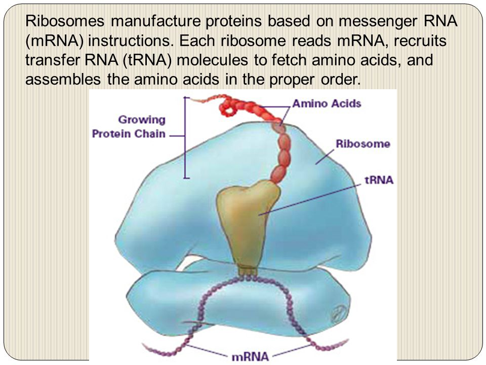 Ribosomes manufacture proteins based on messenger RNA (mRNA) instructions. Each ribosome reads mRNA, recruits transfer RNA (tRNA) molecules to fetch a