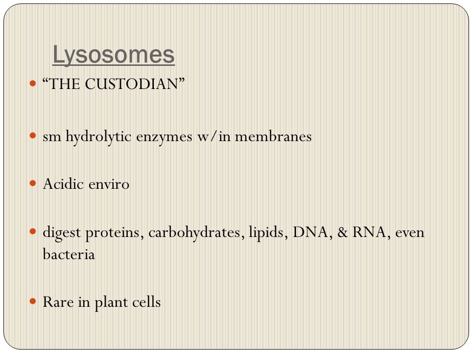 "Lysosomes ""THE CUSTODIAN"" sm hydrolytic enzymes w/in membranes Acidic enviro digest proteins, carbohydrates, lipids, DNA, & RNA, even bacteria Rare in"
