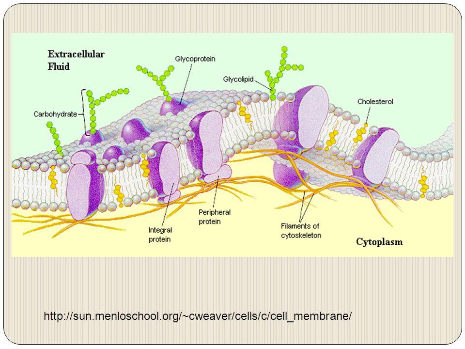 http://sun.menloschool.org/~cweaver/cells/c/cell_membrane/