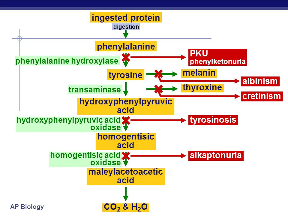 AP Biology Inheritance of metabolic diseases  suggested that genes coded for enzymes  each disease (phenotype) is caused by non-functional gene product lack of an enzyme Tay sachs PKU (phenylketonuria) albinism Am I just the sum of my proteins.