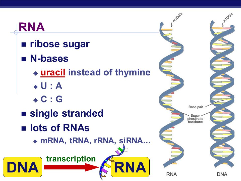 AP Biology The Central Dogma Flow of genetic information in a cell  How do we move information from DNA to proteins.