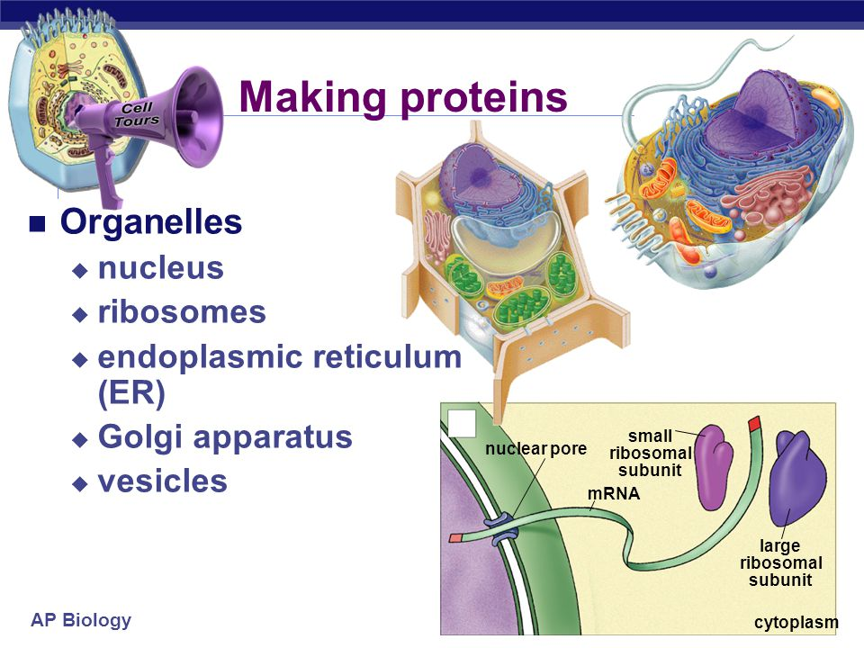 AP Biology 2007-2008 From Gene to Protein How Genes Work