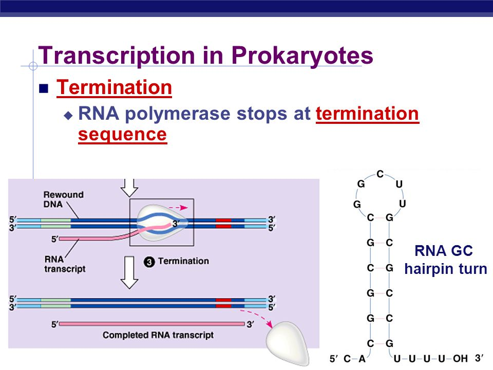 AP Biology Transcription in Prokaryotes Simple proofreading 1 error/10 5 bases make many mRNAs mRNA has short life not worth editing.