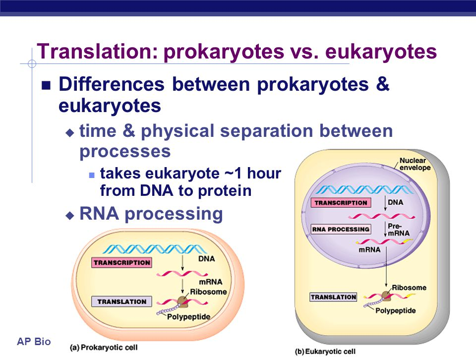 AP Biology Transcription & translation are simultaneous in bacteria  DNA is in cytoplasm  no mRNA editing  ribosomes read mRNA as it is being transcribed Translation in Prokaryotes