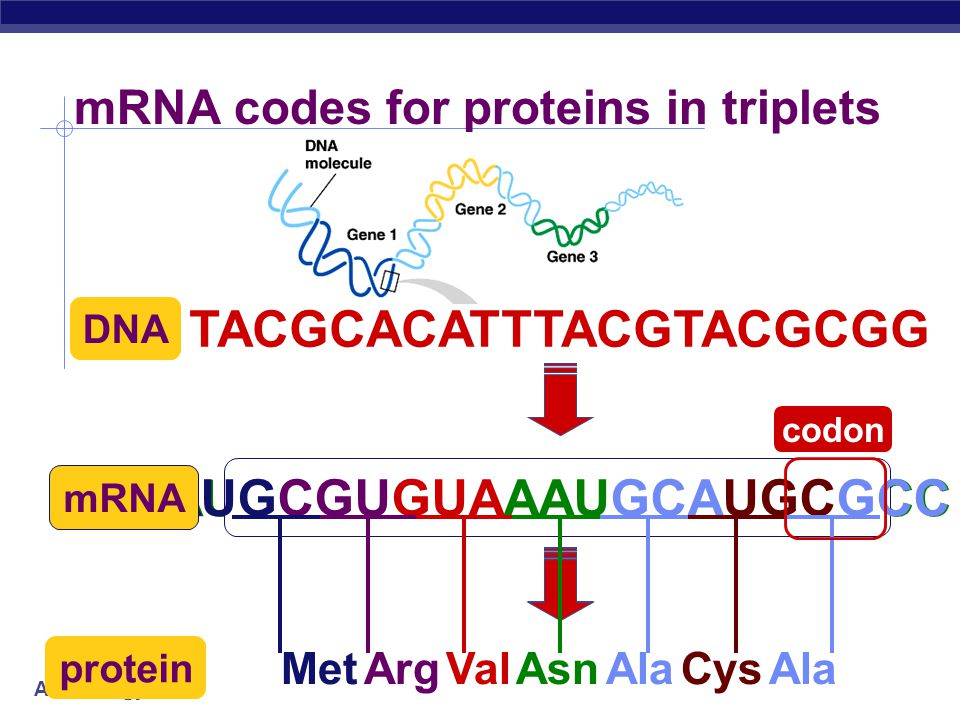 AP Biology How does mRNA code for proteins.