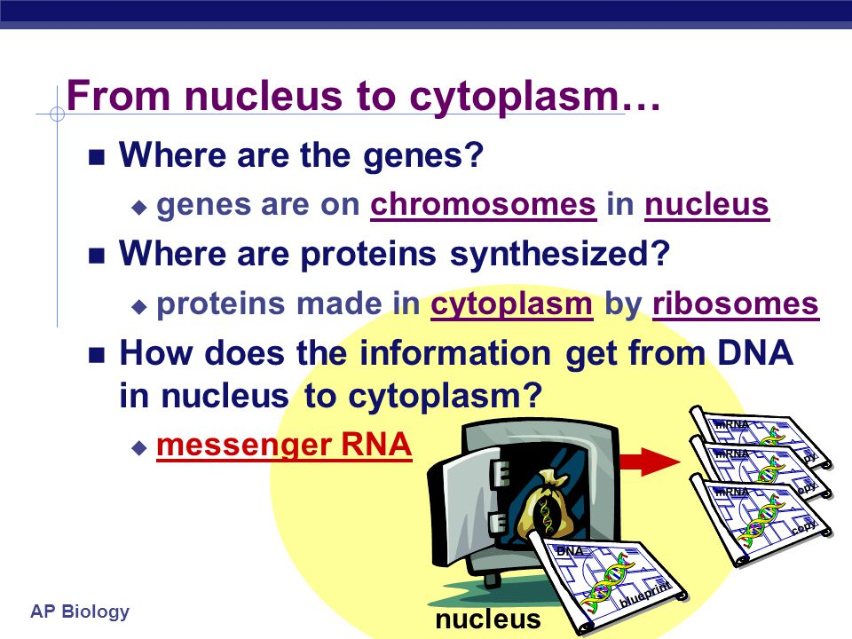 AP Biology Building Proteins Organelles involved  nucleus  ribosomes  endoplasmic reticulum (ER)  Golgi apparatus  vesicles nucleusribosomeER Golgi apparatus vesicles The Protein Assembly Line
